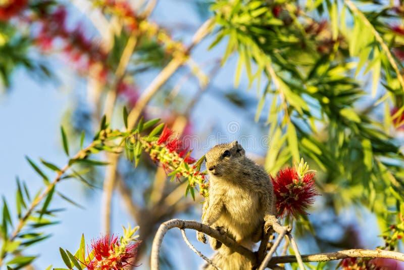 O esquilo cinzento da cor senta-se no ramo de árvore com fundo colorido fotos de stock royalty free