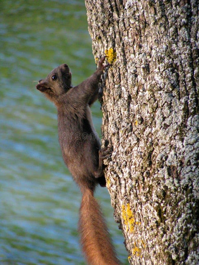 O esquilo cinzento escala o tronco de árvore verticalmente na Croácia fotos de stock royalty free