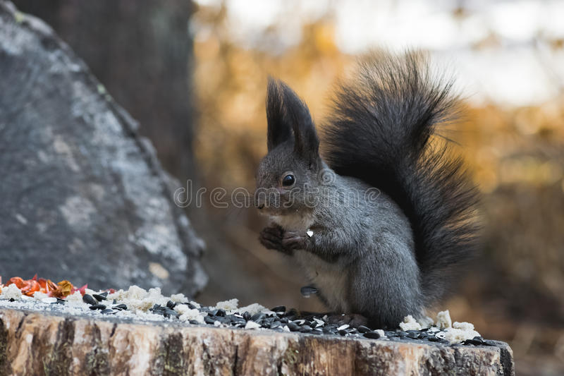 O esquilo cinzento rói porcas foto de stock royalty free