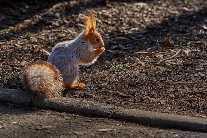 o esquilo Cinzento-vermelho anda atrav?s do parque da mola e procura o alimento fotos de stock royalty free
