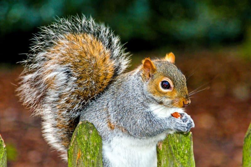 O esquilo come imagens de stock