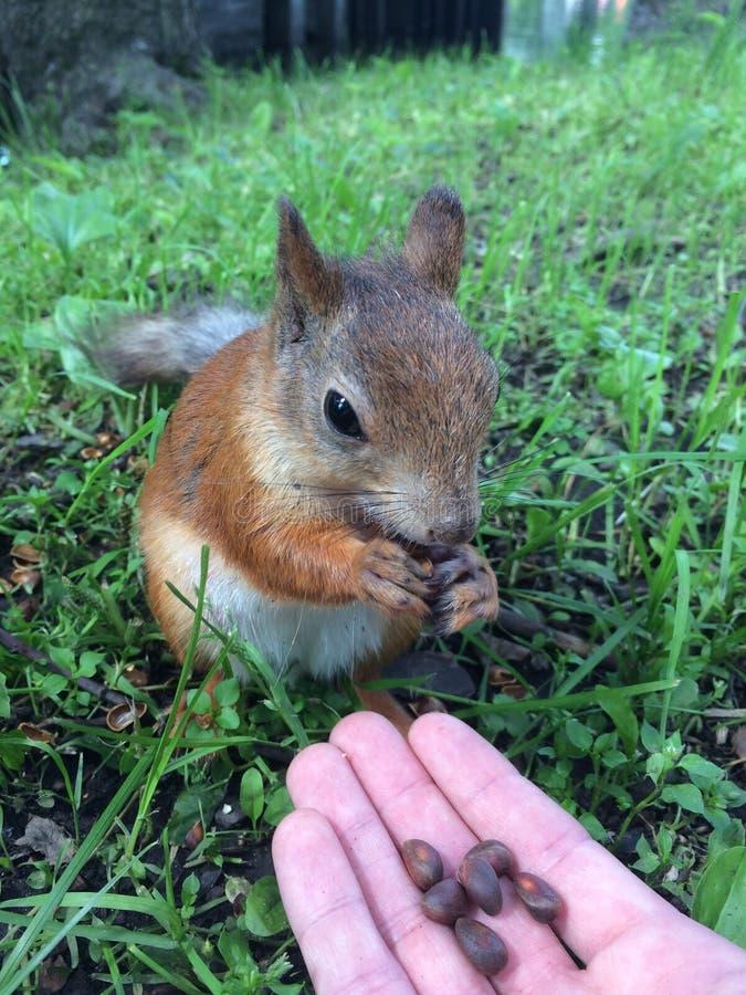 O esquilo come imagem de stock