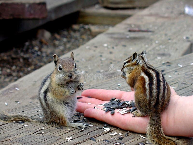 O esquilo come da mão fotografia de stock royalty free