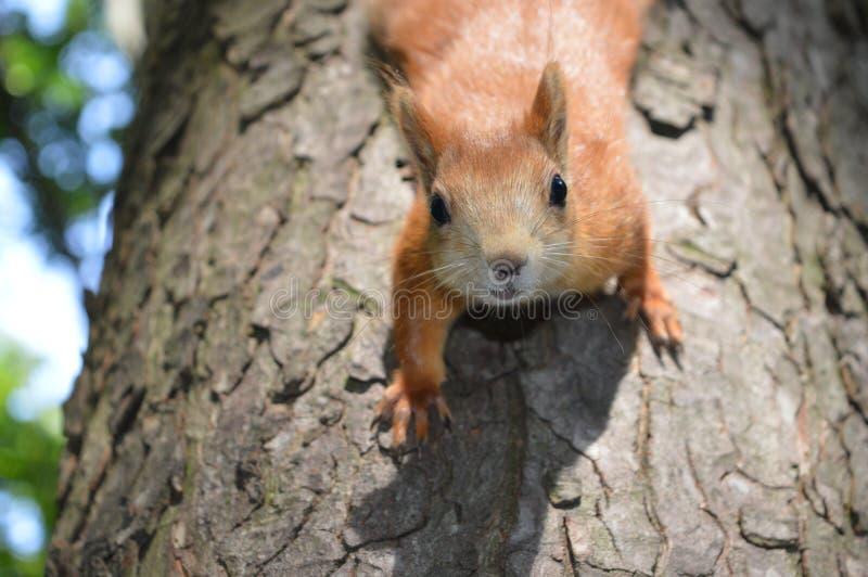 o esquilo considera-nos com cuidado que escalam para baixo de uma árvore imagens de stock royalty free