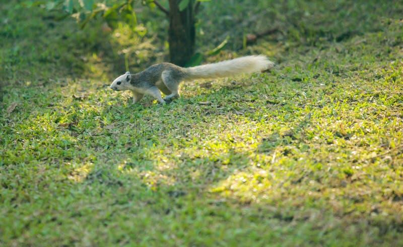 O esquilo de Finlayson o esquilo variável é roedor do dossel-morador, alimentando normalmente no fruto, em 3Sudeste Asiático Habi imagem de stock