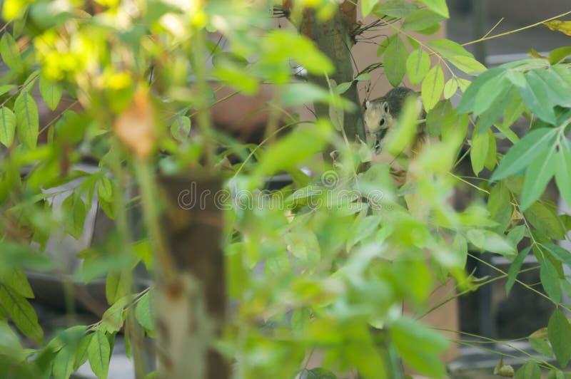O esquilo de Finlayson o esquilo variável é roedor do dossel-morador, alimentando normalmente no fruto, em 3Sudeste Asiático Habi foto de stock royalty free