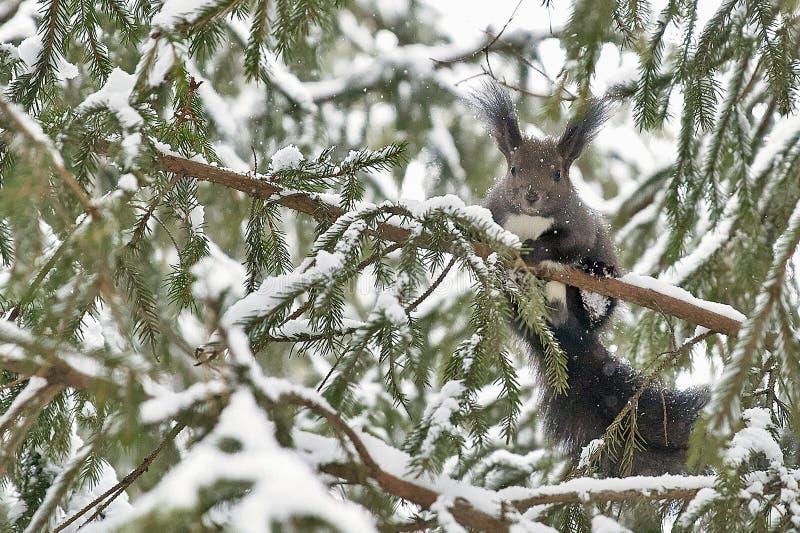 O esquilo em um ramo foto de stock