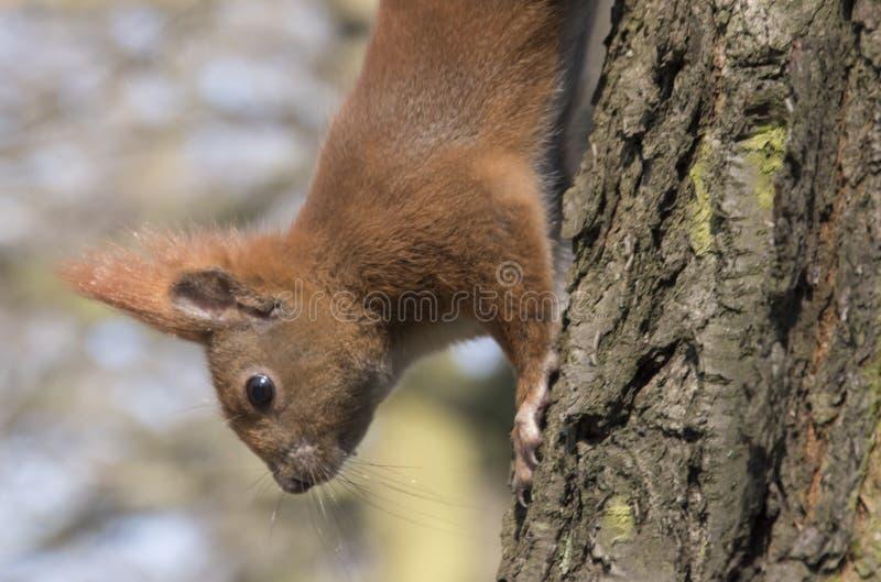 O esquilo em uma ?rvore vai abaixo do fim acima da foto foto de stock royalty free