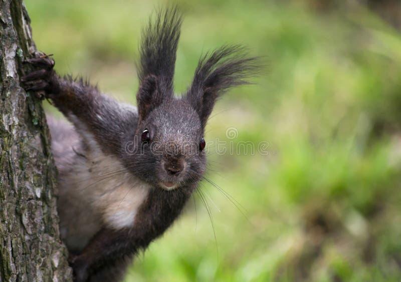 O esquilo engraçado fotografia de stock