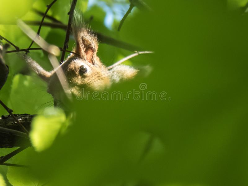 O esquilo esconde nas folhas de uma árvore fotos de stock royalty free