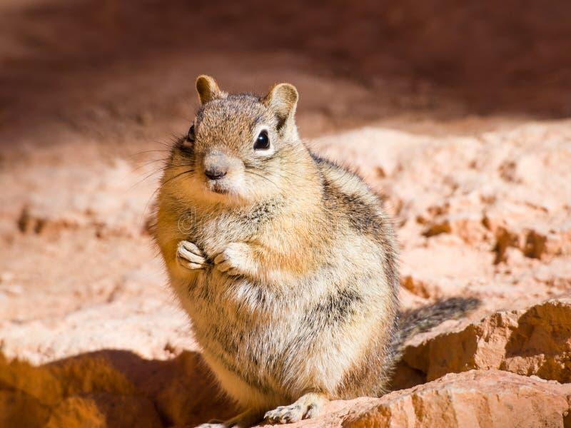 O esquilo está sentando-se na rocha imagem de stock royalty free