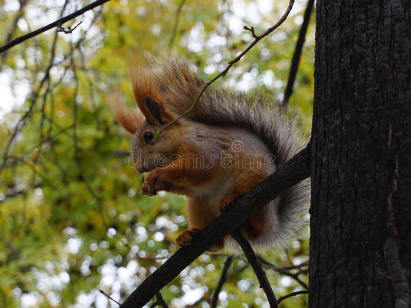 O esquilo macio na árvore come uma porca imagem de stock