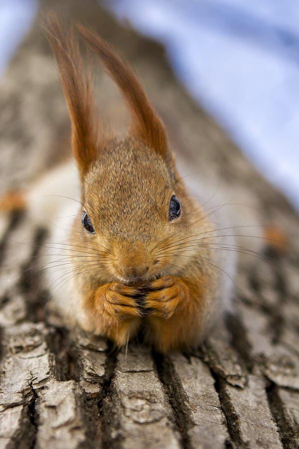 O esquilo na árvore come porcas da floresta fotografia de stock