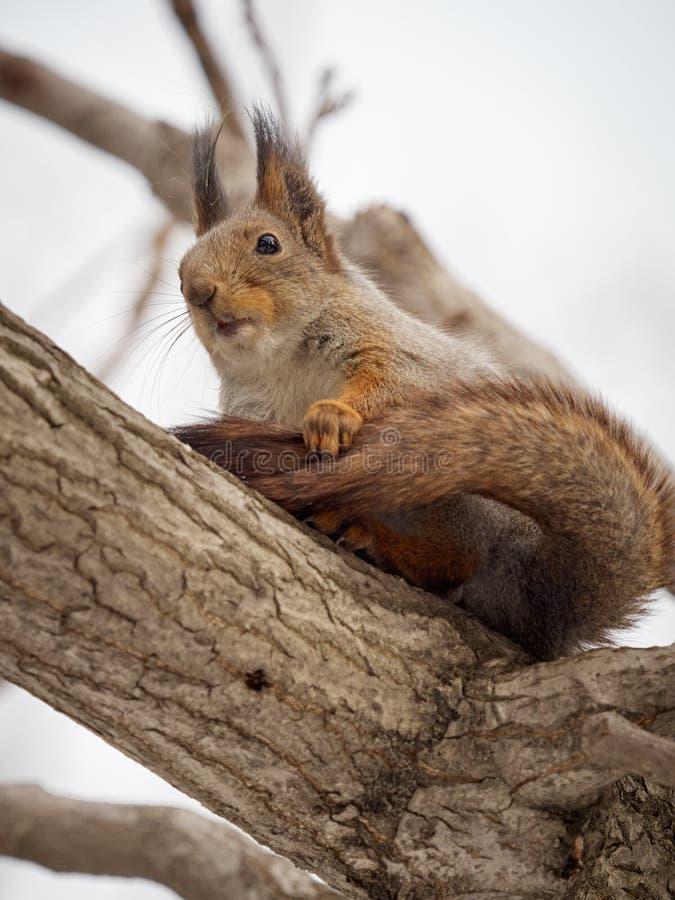 O esquilo na pele do inverno senta-se em um ramo grosso de uma árvore imagem de stock royalty free