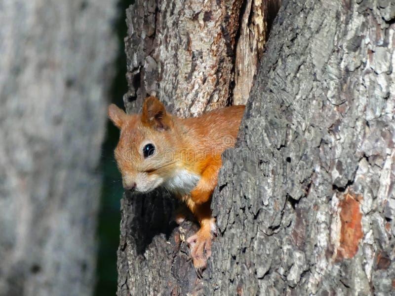 O esquilo olha fora de sua árvore fotografia de stock royalty free