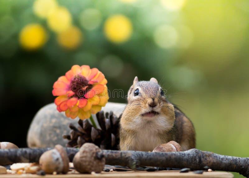 O esquilo oriental adorável levanta na cena sazonal da queda foto de stock royalty free