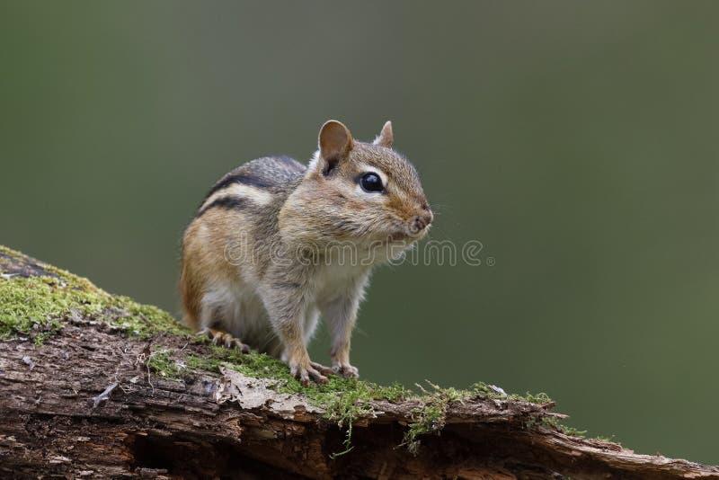 O esquilo oriental com seus malotes de mordente completamente do alimento senta-se no A M. fotos de stock royalty free