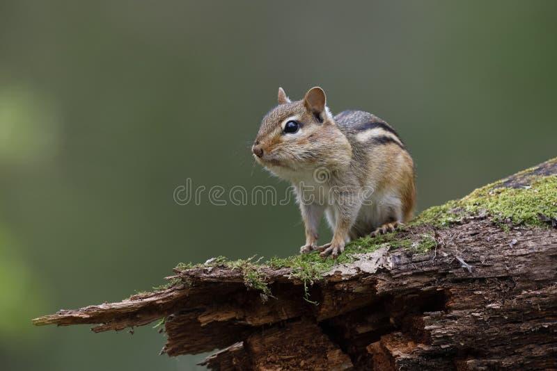 O esquilo oriental com seus malotes de mordente completamente do alimento senta-se no A M. imagem de stock