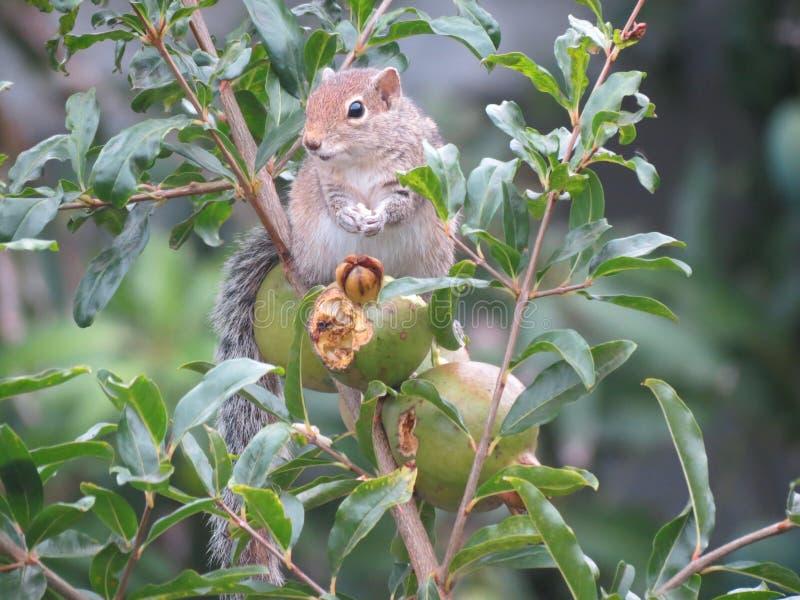 O esquilo que come frutos em uma árvore fotografia de stock