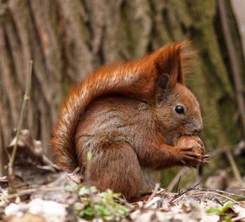 O esquilo rmói uma porca foto de stock