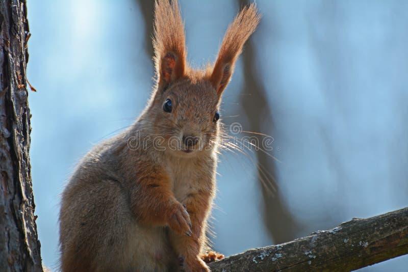 O esquilo ruivo guarda para fora uma mão fotos de stock