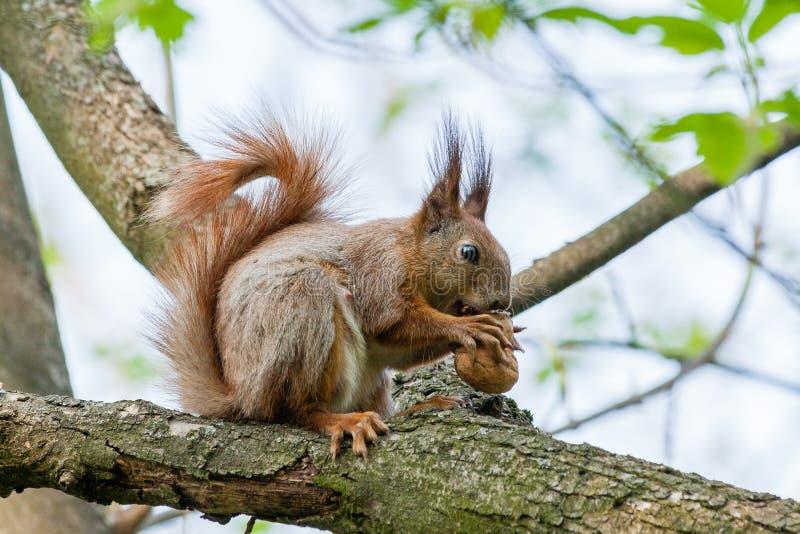 O esquilo senta-se em um ramo e rói-se porcas imagens de stock