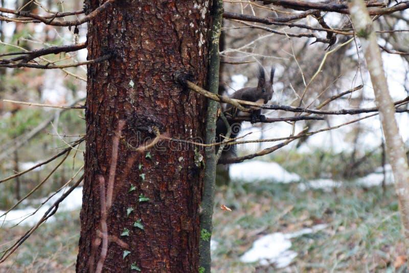 O esquilo vermelho euro-asiático bonito com uma barriga branca fotografia de stock royalty free