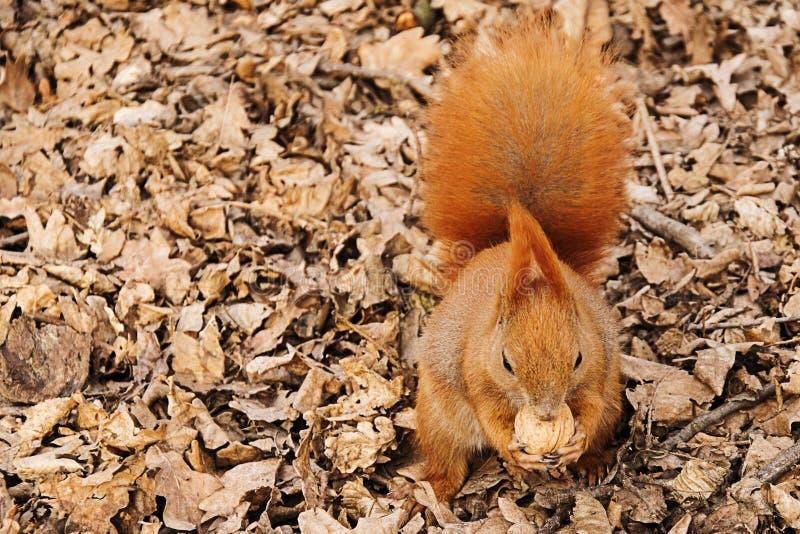 O esquilo vermelho na terra come uma noz fotos de stock