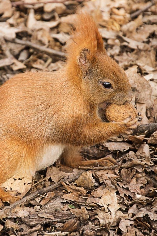 O esquilo vermelho na terra come uma noz imagens de stock