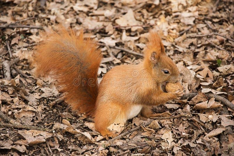 O esquilo vermelho na terra come uma noz fotografia de stock royalty free
