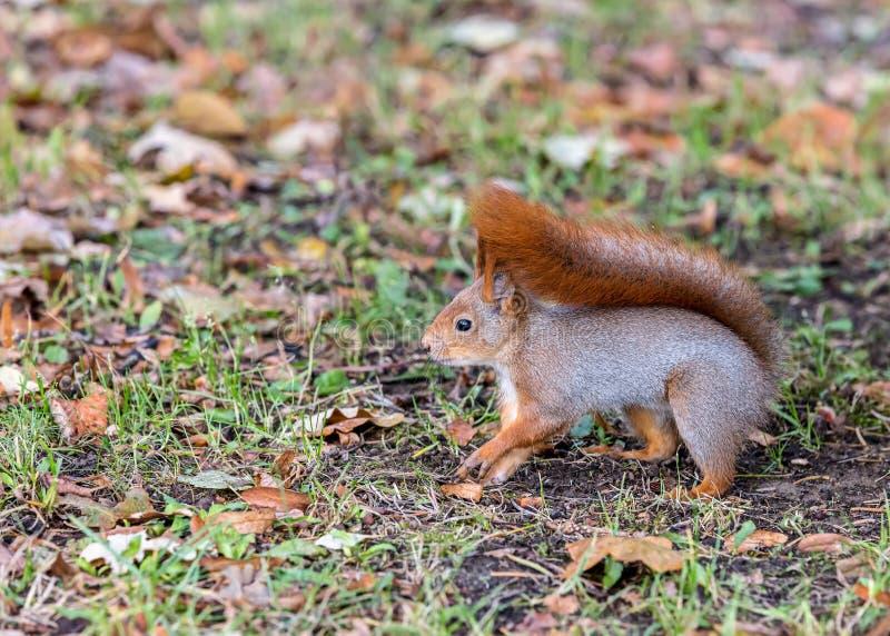 O esquilo vermelho procura pelo alimento no parque outonal fotografia de stock