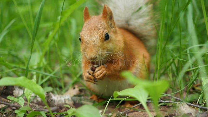 O esquilo vermelho rói deftly porcas no parque imagens de stock