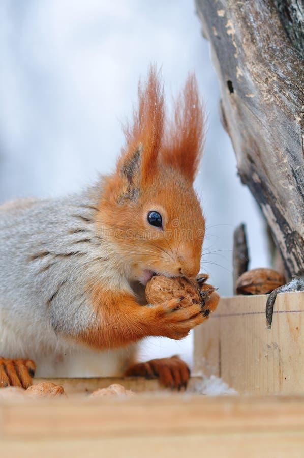 O esquilo vermelho rói porcas imagens de stock