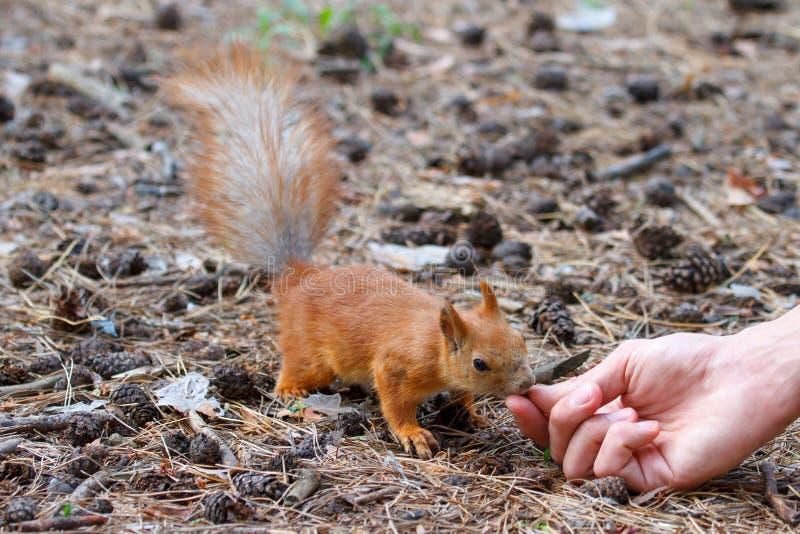 O esquilo vermelho rói porcas no parque imagens de stock