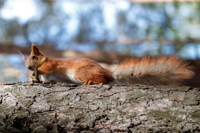 O esquilo vermelho rói porcas no parque fotografia de stock