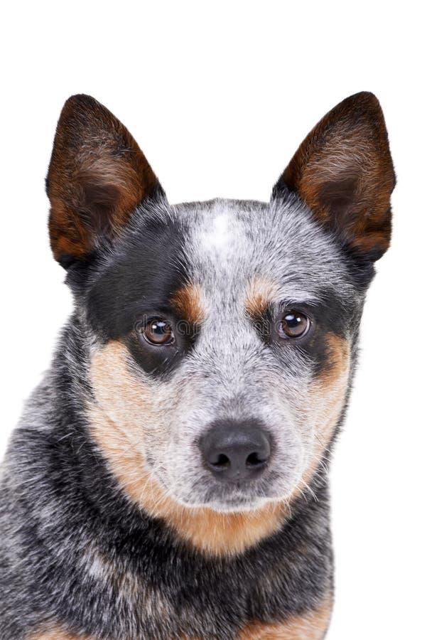 O estúdio disparou de um cão australiano adorável do gado imagem de stock royalty free