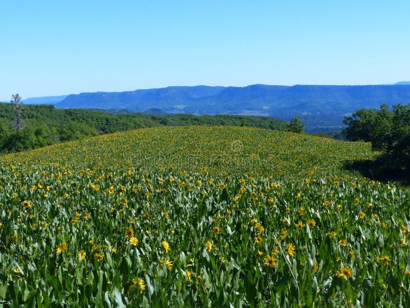 O estiramento amarelo das flores até um pode considerar imagens de stock royalty free