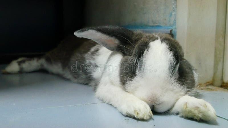 O estiramento preguiçoso do coelho após comeu a cenoura fotos de stock royalty free