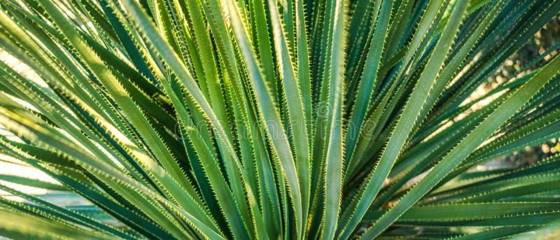 O estreito verde do deserto sae do fundo do close-up da planta - panorâmico fotos de stock