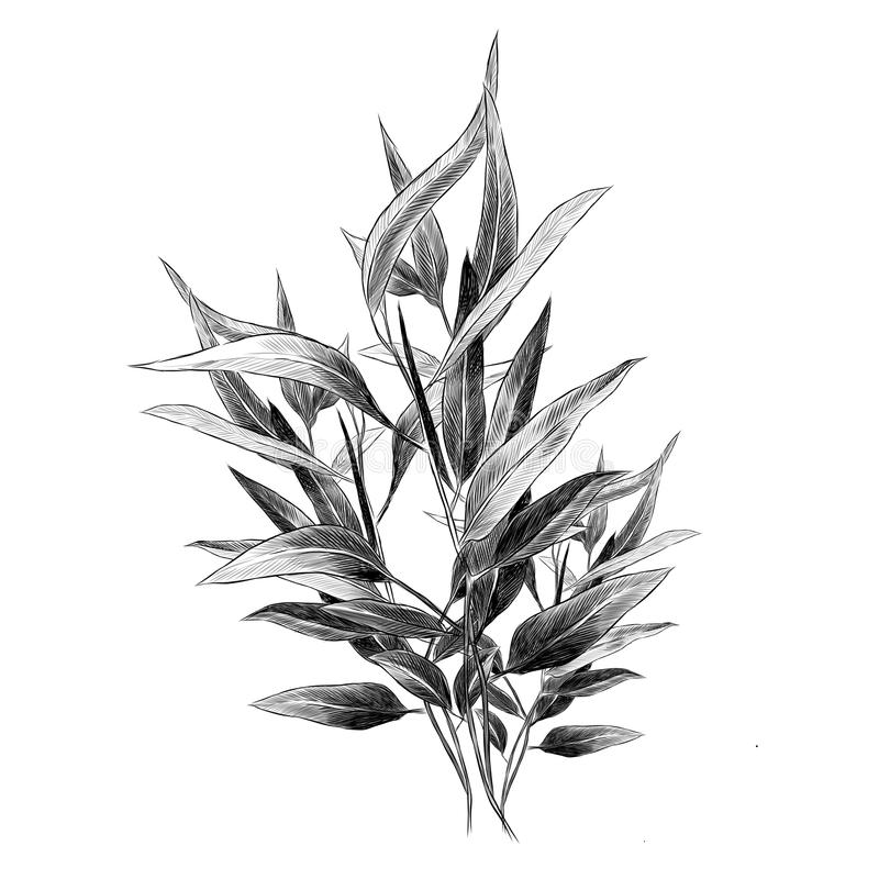 O eucalipto sae de gráficos de vetor do esboço ilustração stock
