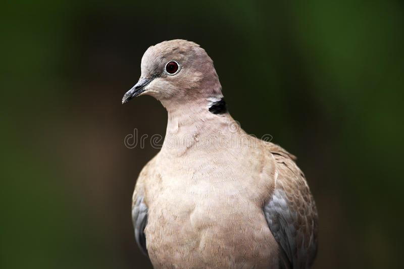 O eurasian colocou um colar a pomba, decaocto do Streptopelia, retrato do detalhe de pássaro do jardim, obscuridade - habitat ver fotos de stock royalty free