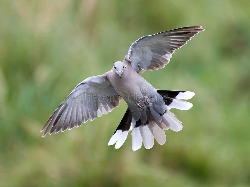 O Eurasian colocou um colar a pomba (o decaocto do Streptopelia) fotografia de stock