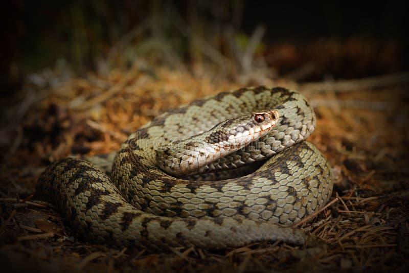 O europeu cruzou a víbora, serpente na terra da floresta foto de stock
