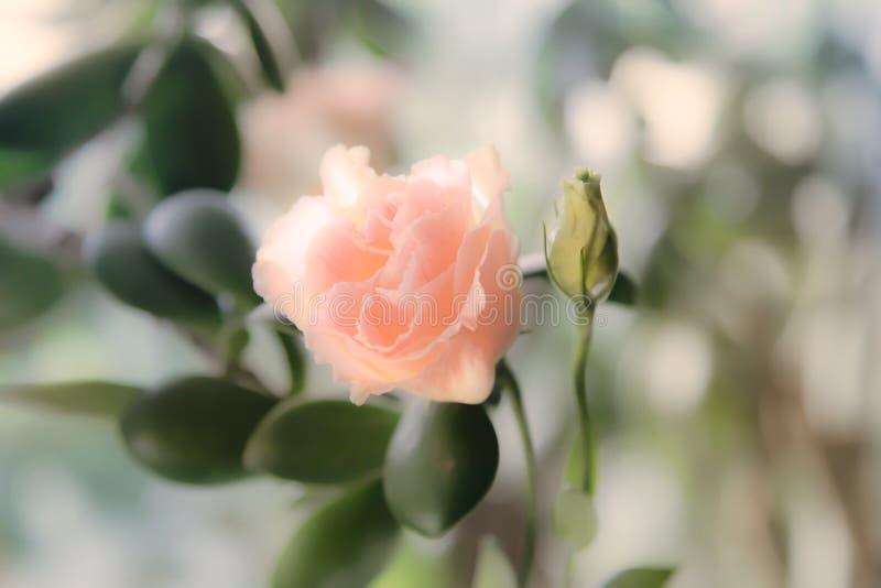 O eustoma cor-de-rosa aumentou como o fundo do casamento Foco macio do borr?o imagens de stock
