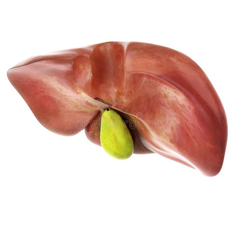 O fígado e a vesícula biliar ilustração royalty free