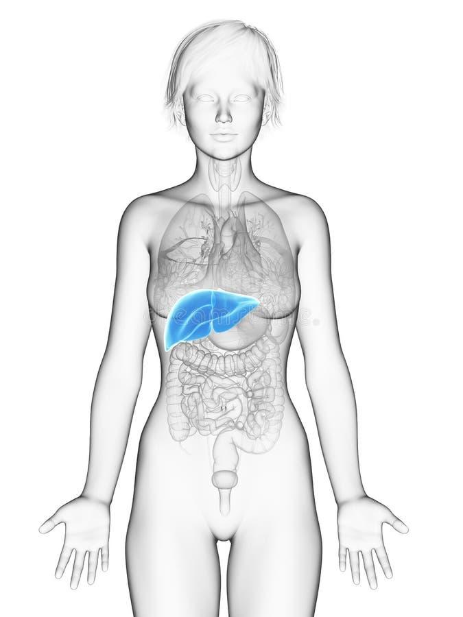 O fígado fêmea ilustração do vetor