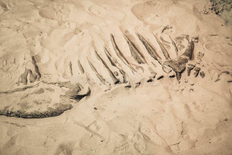 O fóssil de dinossauro encontrou, osso primitivo dos animais na areia foto de stock royalty free