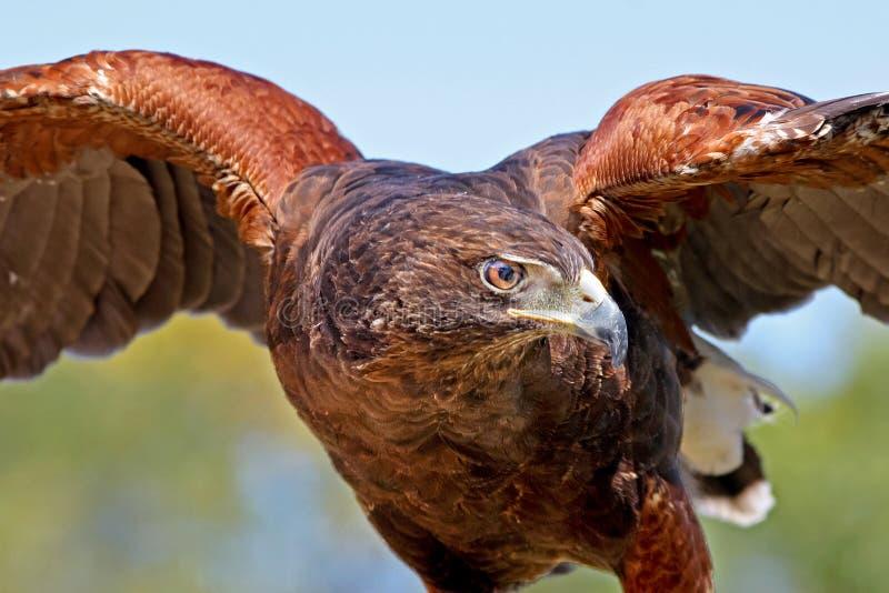 O falcão de Harris fotografia de stock