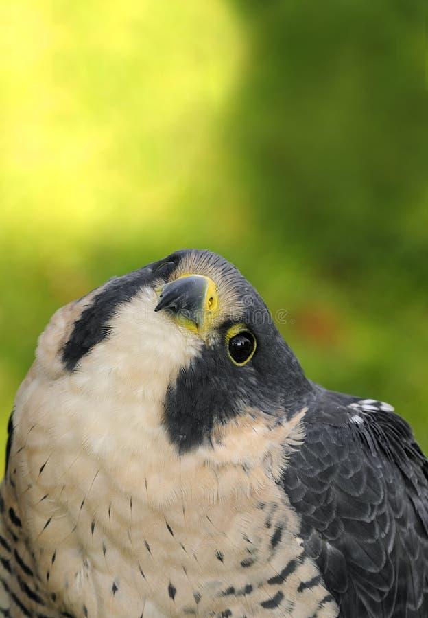 O falcão do peregrino (peregrinus do Falco) olha acima foto de stock royalty free