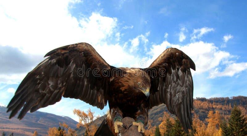 O falcão encontra seu alvo imagem de stock